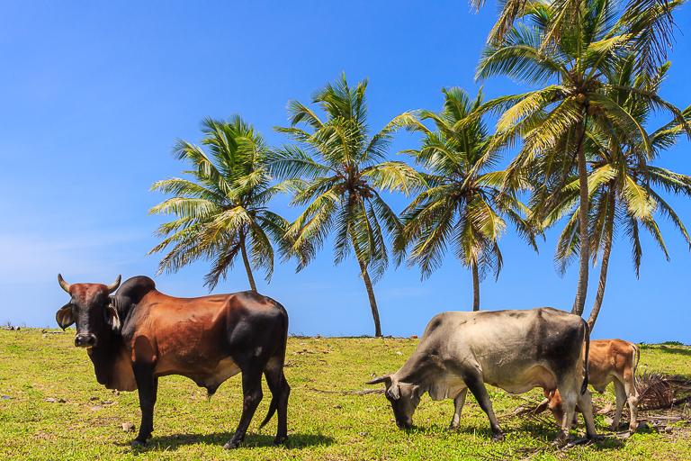 Entdeckungstour rund um Punta Cana | La Vacama - Kühe am Strand